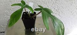 Entire Lot of Hard to Find Philodendron